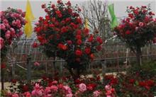湖南:娄底园林部门冬季月季修剪