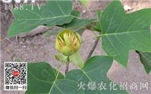 鹅掌楸栽培技术及其应用