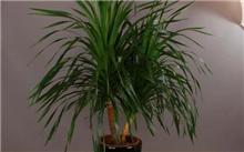 龙血树的养殖方法