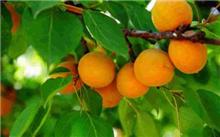 辽宁杏树价格行情,最新杏树价格查询-2016年2月21日