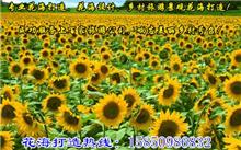 江苏玩具熊向日葵种子价格行情,最新玩具熊向日葵种子价格查询-2016年2月21日