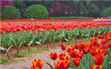 郁金香养殖的花期调控