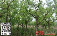 内蒙古:枣树春季咋管理