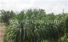 龙血树生理褐斑病的防治