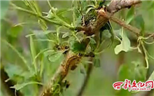 湖南:长沙香樟路绿化带毛虫肆虐吞噬树叶遭现场围剿