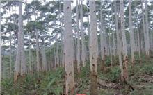 河北:枣强县仝家庄百亩杨树遭虫害光秃秃