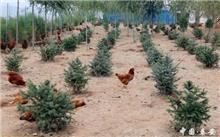 北京:林下经济带动1.3万户农民增收