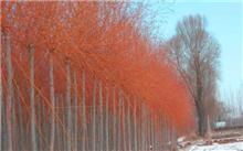 如何培育美国红丝垂柳美国红丝垂柳养护管理