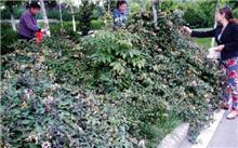 娄底:市民绿化带里采摘的栀子花被没收