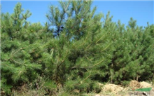 成功培育油松苗木的技术你了解吗