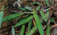 我国采集到珍稀植物箭叶大油芒标本