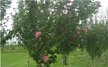 河北定州:大规格丛生木槿价格上涨