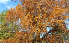 """江苏:钟山风景区内86岁鹅掌楸被称""""树坚强"""""""