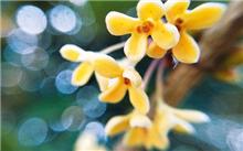 合肥植物园稀有品种橙黄丹桂进入盛花期