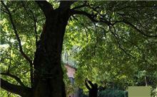 湖北:现千年金丝楠木树下泉水长流