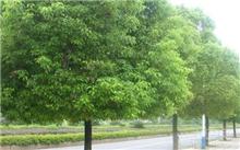 """江苏淮安快速路一期即将动工沿线绿化树""""搬家"""""""
