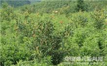 贵州:油茶林带动黎平县经济效益 缓解农村剩余劳动力