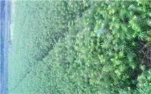 北林大杉木种子休眠研究获新进展