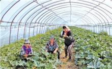新疆利用冷棚培育15万株彩色景观苗木增收