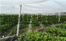 开展南方珍贵树种良种的培育技术研究