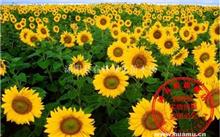 江苏向日葵种子价格行情,最新向日葵种子价格查询-2017年1月18日