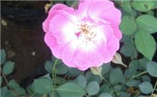江苏红花蔷薇价格行情,最新红花蔷薇价格查询-2017年2月2日