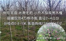 江苏红花木槿价格行情,最新红花木槿价格查询-2017年2月10日