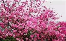 滇花企樱花新品种获省级注册登记