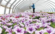 云南:海通县打造花卉特色产业群