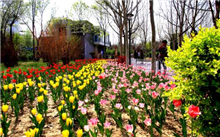 湖南植物园60万郁金香进入盛花期