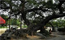 广州着手绿化升级 将更换部分路段榕树