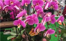 昆明:统一蝴蝶兰种新质优市场好