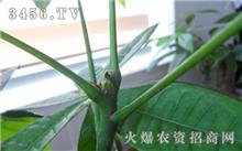 如何防治发财树红蜘蛛