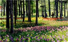 位于哈尔滨的省森林植物园 十万株郁金香争艳