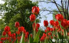 位于哈尔滨的省森林植物园十万株郁金香争艳