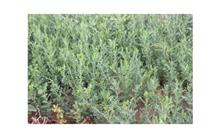 内蒙古柠条种子价格表,最新柠条种子价格查询-2017年5月22日