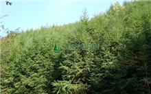湖南杉木良种水平将提升 2个杉木三代种子园项目验收