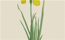 端午到菖蒲花开 扬州举办菖蒲花展