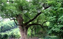 广西古树名木保护条例6月1日起施行 最高可罚款50万元