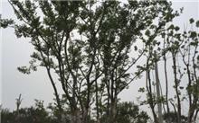 浙江丛生移栽朴树价格表,最新丛生移栽朴树价格查询-2017年6月1日