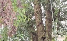 广西竹柏树价格表,最新竹柏树价格查询-2017年6月4日