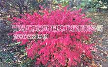 安徽:马鞍山采石风景区发现珍稀原生新树种 肉花卫矛