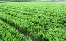 影响绿化苗木价格因素