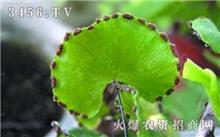 阳春:猪血木正濒临灭绝专家呼吁更新野生植物保护名录