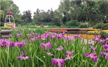 鸢尾在园林景观有广泛前景