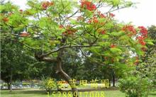 江西合欢树价格表,最新合欢树价格查询-2017年6月21日