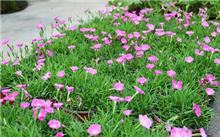 欧石竹---不只是长在地上的开花草坪