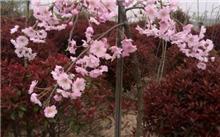 2017长兴花木大会新优品种展参选品种――垂枝樱花