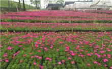 2017长兴花木大会新优品种展参选品种――娜塔栎
