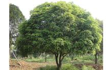 """梅州""""市树""""确定为桂花树"""